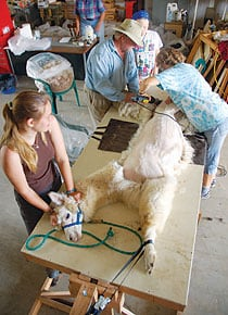 Dakota during a shearing.