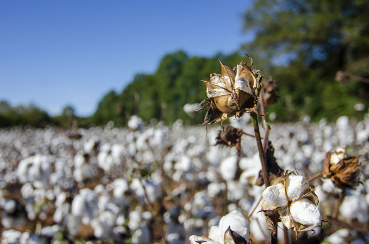 A field of cotton ready to be harvested is pictured.