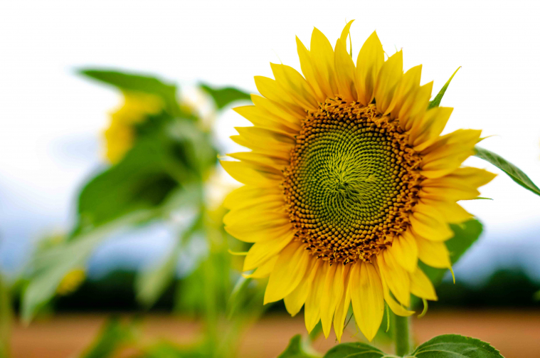 A single sunflower is pictured in close-up.