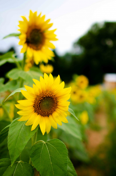 A group of bright sunflowers are shown across a field.